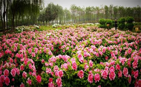 luoyang-peony-flower-festival-5.jpg