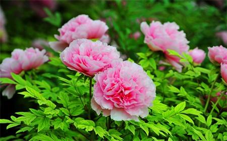 luoyang-peony-flower-festival-11.jpg