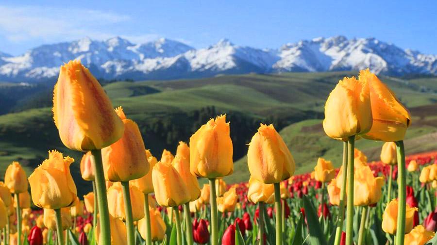 Jiangbulake Tulips.jpg