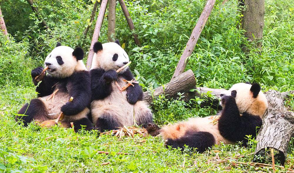 Panda Base