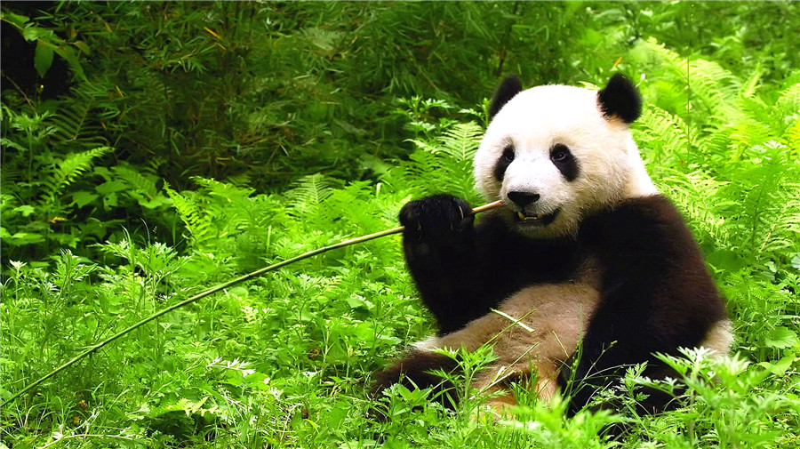 Enjoy the Cute Giant Pandas.jpg