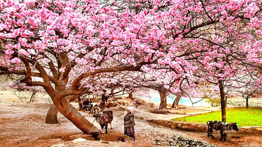 Tashkurgan Apricot Flowers-2.jpg