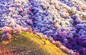 11 Days Xinjiang Apricot Blossom Tour